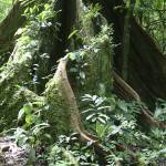 """Ecuador 2006 Sacred Ceiba Tree gloriousjourneyphot"" by gloria_garrett"