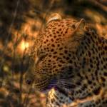 """Ingala Leopard"" by barbarayoungleson"
