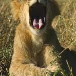 """Kenya 2004  Lion Cub Yawn gloriousjourneyphotograp"" by gloria_garrett"