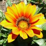 """orange and yellow flower"" by LoraxLady"