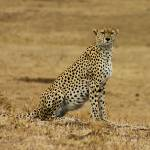 """Tanzania 2004 Ngorongoro Cheetah gloriousjourneyph"" by gloria_garrett"