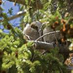 """Yellowstone 2009 Great Horned Owl Chick gloriousjo"" by gloria_garrett"
