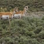 """Yellowstone 2009 Pronghorn Lookout"" by gloria_garrett"