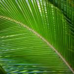 """Palm Frond for Karolyn"" by RHMiller"