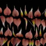 """""""October Petals 3"""" by LindaCavaney"""