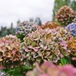 """""""Aging Flowers"""" by slightlynorth"""