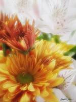 Gold Chrysanthemums and Alstroemeria 1