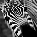 """Zebra"" by goellisphoto"