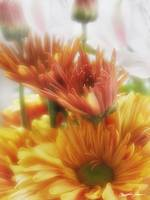 Gold Chrysanthemums and Alstroemeria 2