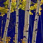 """Morning Light on Aspens"" by jameskorringa"