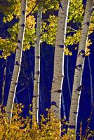 Morning Light on Aspens
