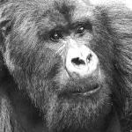 """""""Charles 21yr old silverback,Rwanda"""" by mylife"""