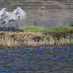 """Yellowstone 2009 Sandhill Crane with Nest"" by gloria_garrett"