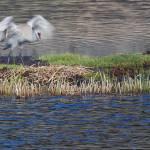 """""""Yellowstone 2009 Sandhill Crane with Nest"""" by gloria_garrett"""