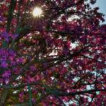 """Silk Floss tree in bloom"" by NjordPhotography"
