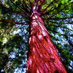 """California Redwood"" by robvena"