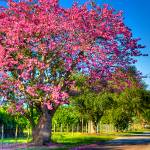 """Silk Floss Tree"" by NjordPhotography"
