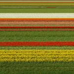 """Tulip Field - Straight tulip lines in tulip field"" by vision"