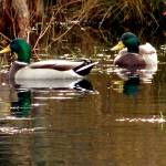 """Mallard Ducks"" by CChristopherpix"