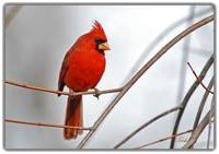 Northern Cardinal -- Red & Gray