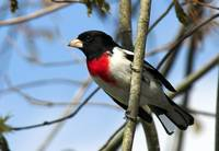 Rose-breasted Grosbeak in Tree