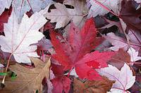 Autumn Leaves #1
