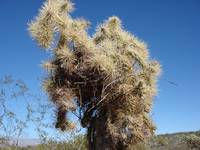 Grizzled Cholla