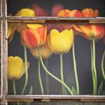 """Tulips in the Window"" by BCImages"