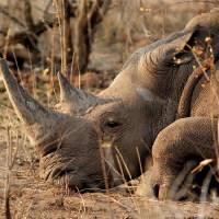 Rhino Art Prints & Posters by Jeff Brennan