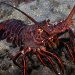 """California Spiny Lobster"" by The_World_Underwater"