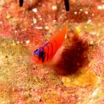 """Bluebanded Goby"" by The_World_Underwater"