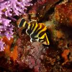 """Treefish and Purple Hydrocoral"" by The_World_Underwater"