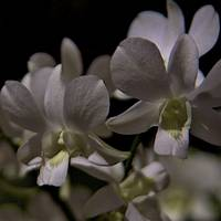 Orchids by Moonlight