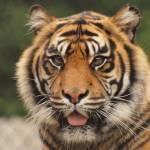 """Summatran Tiger"" by Yorkney"