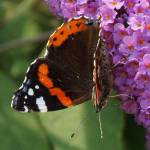 """""""Red admiral"""" by Yorkney"""