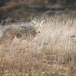 """Nisqually Coyote"" by markwhitesell"