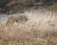 Nisqually Coyote