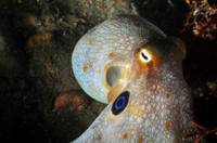 Two-Spot Octopus