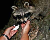 Raccoon Likes Eggs