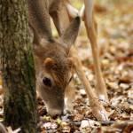 """deer II"" by offthebeatenpath"