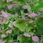 """""""hydrangea"""" by ashlie_conway"""