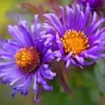 """Fall Asters"" by djnoel"