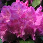 """Rhododendron Beauty"" by SnapitNow"