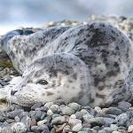 """Whidbey Island Seal Pup"" by markwhitesell"