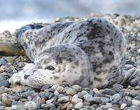 Whidbey Island Seal Pup