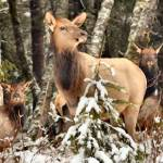 """""""Greenwater Elk"""" by markwhitesell"""