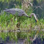 """Great Blue Heron at Nisqually NWR"" by markwhitesell"