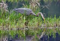 Great Blue Heron at Nisqually NWR