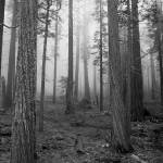 """Yosemite Trees in Black and White"" by michellemorrisphotography"