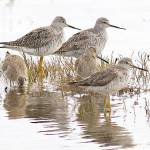 """Willapa NWR - Shorebirds"" by markwhitesell"